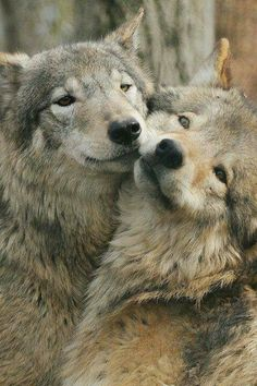 Wolves are Loving Creatures They Stay in a pack A.K.A a Family
