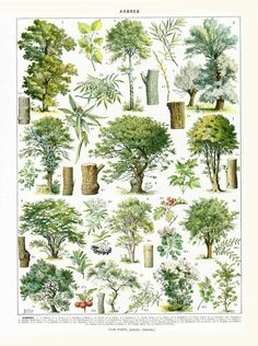 1933 Illustration ancienne Forêt, Arbres forestiers, Feuillus, Décor mural, Décor forestier, Décor campagnard