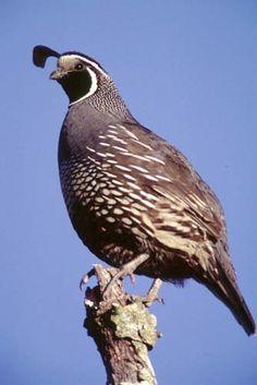 majestic quail - Google Search