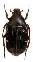 Madagascar chafer genus Euchroea desmaresti (Scarabaeidae: Cetoniinae)