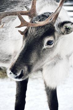 TOP 5 Dreamiest Glass Igloos in Finland + Tips for Booking Like Animals, Baby Animals, Reindeer Photo, Reindeer Antlers, Nordic Christmas, Reindeer Christmas, Modern Christmas, Moose Deer, Deer Family