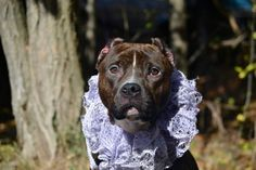 "SQUEAKY - A1057239 - - Staten Island  TO BE DESTROYED 11/23/15***AVERAGE RATED!*** Found as a stray, lovely Squeaky sits in a cage at Staten Island wondering if her people will come for her, whether anybody even notices she's there. Skinny, with very long nails, and a raging ear infection, it sounds like wherever she lived, Squeaky didn't get the best of care. And yet, the first words the ACC staff used to describe her is ""very friendly, allowed all handling"" so its"