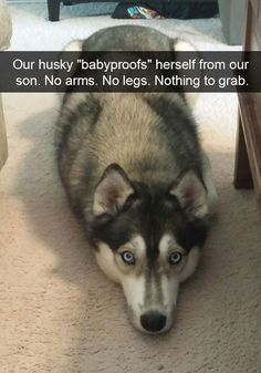 Funny Animal Pictures Of The Day – 28 Pics Brand new weekly theme compilation where we challenge you to Try Not To Laugh at these Funny Dogs. Funny Dog Memes, Funny Animal Memes, Cute Funny Animals, Funny Animal Pictures, Cute Baby Animals, Funny Cute, Funny Husky, Husky Meme, Memes Humor