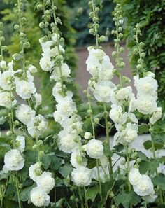 Accentuate your garden with beautiful towering Hollyhocks in a variety of colors. Browse Hollyhock flowers also known as Alcea from White Flower Farm. Sun Garden, Dream Garden, Garden Plants, Home And Garden, Flowering Plants, Gardening Vegetables, Hollyhocks Flowers, Flowers Perennials, Planting Flowers