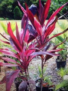 Ti Plant (cordyline fruticosa): This appears to be a  beautiful ti plant (Cordyline fruticosa), native to the tropics as an understory small tree. Outdoors, it does best when you provide partial shade or filtered light and regular water.  Indoors it grows best in bright indirect light.The leaf color combinations vary in mixes of pink, purple, green, and creamy white with fragrant white or pale lavender flowers on panicles in summer followed by red berries.  If you are interested in finding…