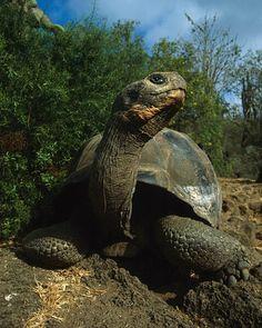 Tortoise, Galapagos Islands, Ecuador ~ Photo by Jim Zuckerman