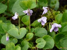 Suo-orvokki | Viola palustris | Marsh violet  to: undergrowth for ferns