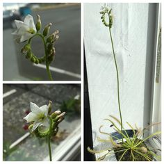 Came back from vacation to a blooming sundew! So excited to try growing from seed these plants are nuts #carnivorousplants #sundew #drosera #flowers #containergarden by embernova