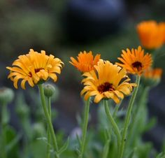 Calendula officinalis * Marigold * Goudsbloem