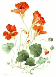 Nasturtium: watercolour painting by Marina Albert, 1995 Botanical Flowers, Botanical Prints, Art Floral, Watercolor Flowers, Watercolor Paintings, Illustration Blume, Plant Painting, Botanical Drawings, Flower Art