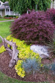Japanese Maple, spirea, and driftwood accent OR Burning bush, spirea & compact blue spruce (my selection) - All For Garden Garden Shrubs, Shade Garden, Garden Bed, Landscape Design, Garden Design, Landscape Architecture, Evergreen Landscape, Blue Spruce, Zen Gardens