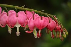 Does Heartache Ever Go Away Bleeding Heart Flower, Bleeding Hearts, Loss Of Friendship, Emotional Abuse, Blessed, Marriage, Rose, Flowers, Casamento