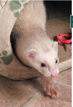 How to Properly Clip Your Ferret's Nails