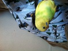 Yellow and green parakeets are small but mighty!!!! She can win in a fight with my cockatiel!!!!!! Her name is jewel and she is a sweet heart! ( most of the time)