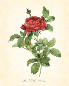 Rosa Gallica Pontiana by Redouté