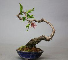 Almond Bonsai