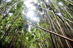 Inside a Bamboo Forest, Haleakala National Park Maui