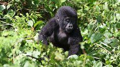 Suojelu tepsii Ugandassa - uhanalaisia vuorigorilloja entistä enemmän