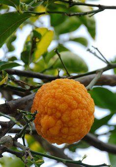 Rough lemon (Citrus x taitensis) by Tony Rodd, via Flickr