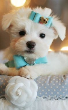 Mike the Teacup Maltese is For Sale #teacup #puppy #dog #maltese #forsale #cute
