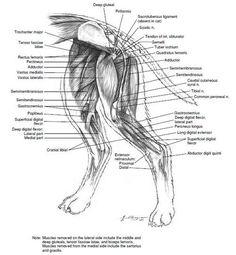 Canine Muscle Anatomy | Canine Health | Pinterest | Muscle anatomy ...