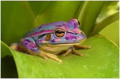 Purple Rain Forest Frog - Rain Forest  Frogs, can range in colour from red, orange, yellow, green, and purple. They can also vary in size from a mere 2cm and grow to be about 10cm in body length. The purple frogs are known to contain a defense mechanism consisting of a toxic chemical on their slimy exterior. If contact is made with this toxin the temporary effect of paralysis can occur.