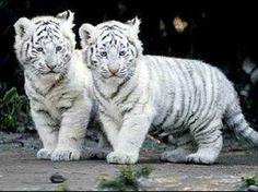 White Tiger Wallpaper for Desktop with ID 2532 on Animals category in HD Wallpaper Site. White Tiger Wallpaper for Desktop is one from many HD Wallpapers on Animals category in HD Wallpaper Site. Baby White Tiger, White Tiger Cubs, White Lions, Baby Animals Pictures, Cute Baby Animals, Funny Animals, Animal Babies, Bear Pictures, Cutest Animals