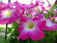 Petunias - love the colour