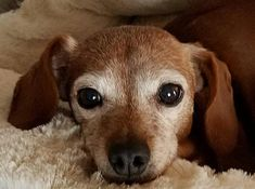 1/20/18 Pictures of Marleigh a Dachshund for adoption in Decatur, GA who needs a loving home.