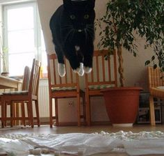 hovering cat.