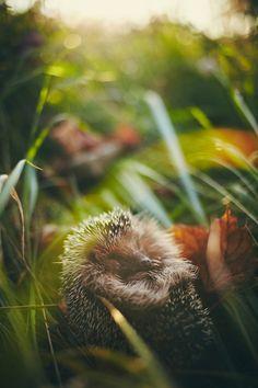 Sleeping Hedgehog by Łukasz Walas on 500px