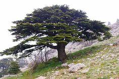 cedar of lebanon canada - Google Search