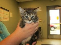 Blossom 101082 is an adoptable Maine Coon Cat in Joplin, MO.  ...