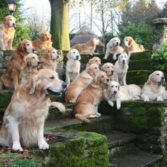 This is what heaven would look like. #Golden #Retrievers
