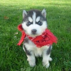 I absolutely love Huskies...I really want to get one sometime down the road! ;)