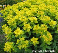 KULTATYRÄKKI -  GULLTÖREL. Euphorbia polychroma. Kukinnon väri: keltainen. Kukinta-aika: touko-kesäkuu. Valovaatimus: aurinkoinen. Korkeus: 50 cm. Kestävyys: melko kestävä. Lisätietoja: Kultatyräkki on myrkyllinen. Särkän taimistosta. Annual Plants, Garden Projects, Perennials, Herbs, Allotment, Cottage, Gardening, Gardens, Plants