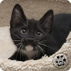 Troy, OH - Domestic Shorthair. Meet Zeke, a kitten for adoption. http://www.adoptapet.com/pet/18404882-troy-ohio-kitten