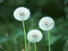 flores-dentes-de-leao.jpg 1.000×750 pixels