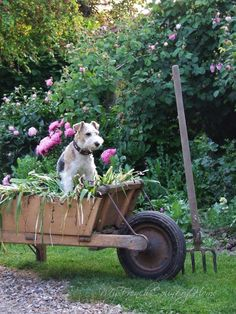 Airedale Terrier sitting in the Wheelbarrow by Oh So ShAbBy By Debbie Reynolds Fox Terriers, Chien Fox Terrier, Wire Fox Terrier, Airedale Terrier, Gray Garden, Summer Garden, Sage Garden, Pink Garden, Garden Cottage