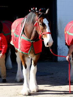 Budweiser Clydesdales in New Orleans for the parades