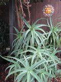 Aloe Spimosa