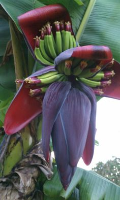 Blooming Bananas
