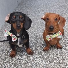 Tank and Bear with their matching bow ties! | Community Post: 25 Adorable Dachshunds On Instagram