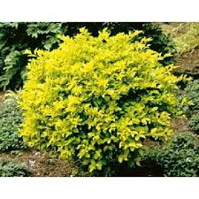 Image result for sheena's gold hedge
