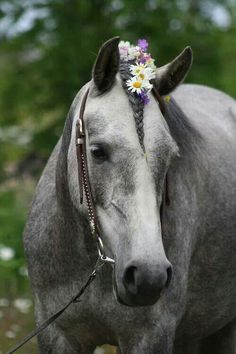 horse mane braid ToniK ❀Flowers in their coats❀ Horses And Dogs, Cute Horses, Horse Love, Show Horses, Gray Horse, All The Pretty Horses, Beautiful Horses, Animals Beautiful, Cute Animals