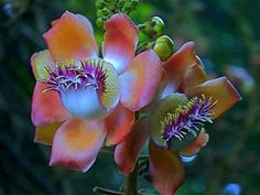 Cannonball Tree Flower  is native to the tropical forests of northeastern South America, especially the Amazon Basin and in the tropics such as in India and Thailand.