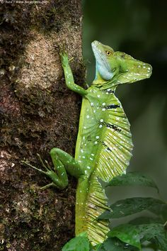 The plumed basilisk, Basiliscus plumifrons, also called a green basilisk, double crested basilisk, or Jesus Christ lizard, is a species of corytophanid native to Latin America,   Costa Rica
