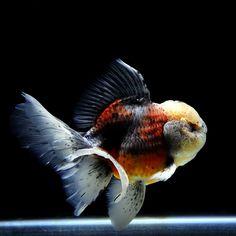 【金魚王子】三色オランダ 16cm± 参考売価 26,000円 色彩豊かで、とっても優雅な金魚です! #金魚 #金魚王子 #オランダ #アクアリウム #fish #goldfish #pets #aquarium #優雅