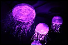 Google Image Result for http://graphics8.nytimes.com/images/2012/11/28/timestopics/jellyfish/jellyfish-sfSpan-v2.jpg