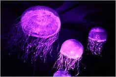 Google Image Result for http://graphics8.nytimes.com/images/2012/11/28/timestopics/jellyfish/jellyfish-sfSpan-v2.jpg